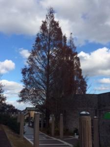 冬のけやきの木1